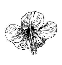 sketch drawing hibiscus flower handmade vector image