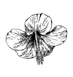 sketch drawing of hibiscus flower handmade vector image