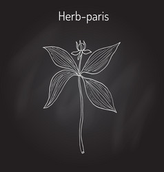 Herb-paris or true lover s knot paris quadrifolia vector