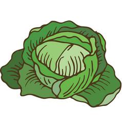 Ripe green cabbage vector
