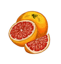red orange fruit sketch isolated icon vector image