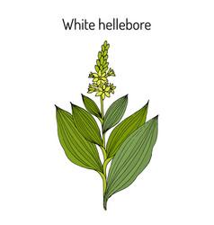 White hellebore veratrum album medicinal plant vector