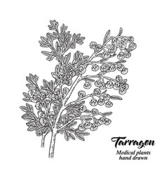 hand drawn tarragon or absinplant isolated on vector image
