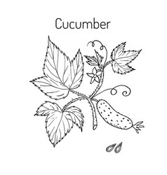 cucumber with flower and leaves vector image