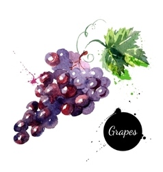 Hand drawn watercolor painting grapes on white vector