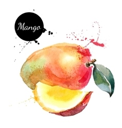 Hand drawn watercolor painting mango on white vector image