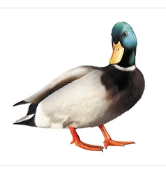 Male mallard duck vector