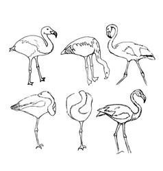 set of sketches of flamingos drawn vector image