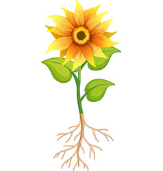 Sunflower flower with green leaves and roots on vector
