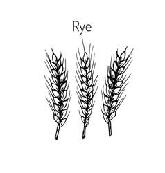 Hand draw rye ears sketch vector