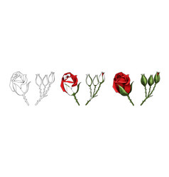 roses hand drawing and colored a blossoming vector image
