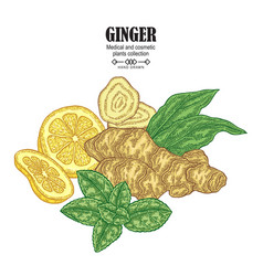 Ginger plant set hand drawn composition with vector