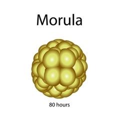 Human morula on isolated vector