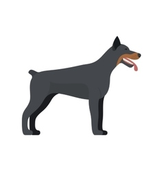 Doberman Pinscher dog breed - on white background vector