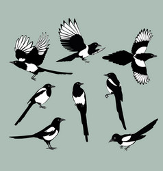 Set magpie birds vector
