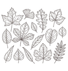 sketch autumn leaves fall leaf hand drawn vector image