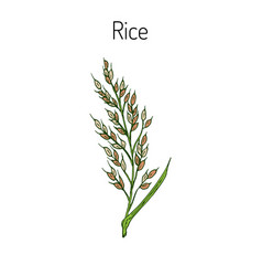 Hand drawn rice ears sketch vector