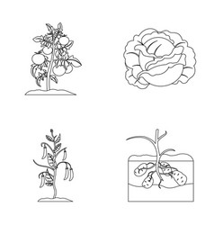 tomatoes cabbage and other vegetablesplant set vector image