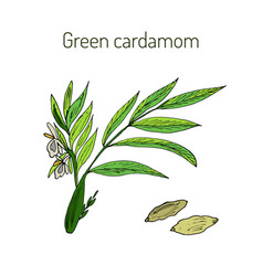 aromatic plant green or true cardamom vector image vector image