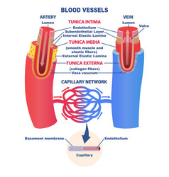 Blood vessels educational banner or poster vector