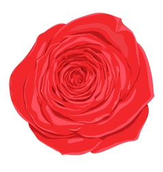 red rose flower isolated on white background vector image vector image
