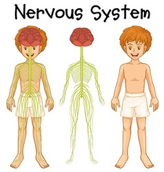 Nervous system of human boy vector