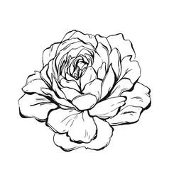 Ranunculus rose peony dahlia camellia vector