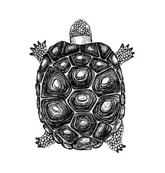 hand drawn turtle vector image