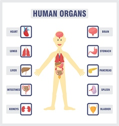 Human Internal Organs vector
