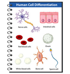 Information poster human cell differentiation vector