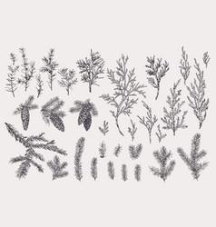 christmas evergreens winter vintage botany vector image