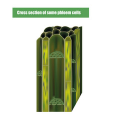 cross section some phloem cells vector image