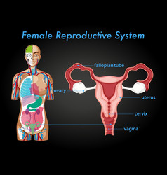Information poster female reproductive system vector