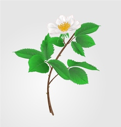 Wild rose twig with leaves and flowers vector image vector image