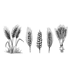 collection set of wheat ears vector image