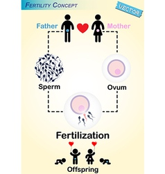 Human Fertilization Diagram vector image