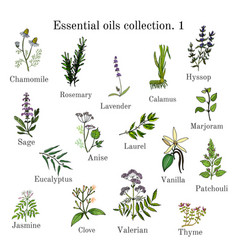 set of essential oil plants hand drawn ector vector image