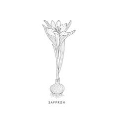 Saffron Hand Drawn Realistic Sketch vector