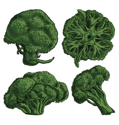 Four green broccoli florets inflorescence on a vector