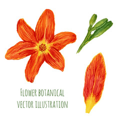 Beautiful watercolor flowers orange lilies with vector