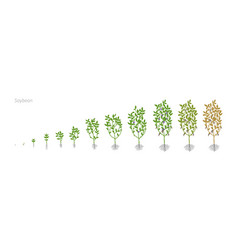 Soybean glycine max growth stages vector