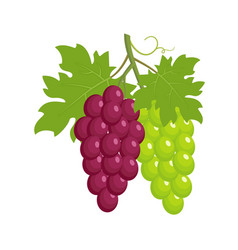bunches of grapes red and green grapes vector image