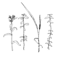 scetch plants vector image