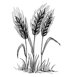 Wheat ears isolated on white background vector