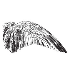 Wild goose wing have a bird wing vintage engraving vector