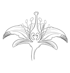 Tiger lily flower outline vector image