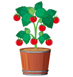 a tomato plant in pot vector image