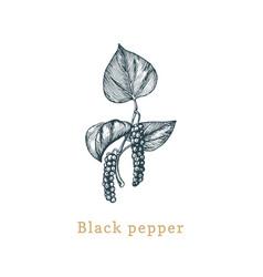black pepper sketch drawn spice herb in vector image