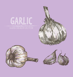 digital detailed garlic hand drawn vector image
