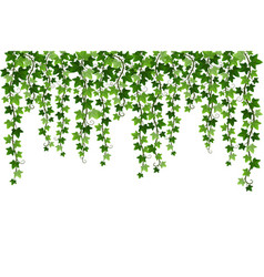 Green climbing hanging ivy creeper plant isolated vector